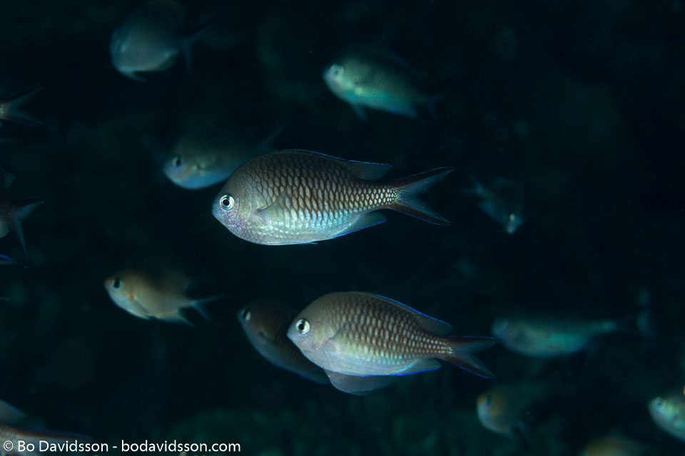 BD-140324-Apo-3601-Chromis-alpha.-Randall.-1988-[Yellow-speckled-chromis].jpg